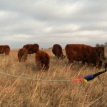Grazing stockpile fall 2014 behind Batt Latch automatic gate opener.
