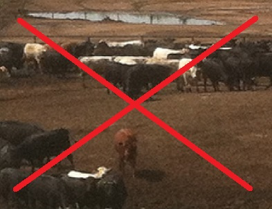 """Cattle living a portion of their lives in a """"feedlot"""".  Something you will not see at DS Family Farm."""