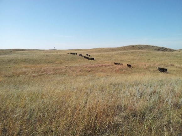 Cattle grazing Nebraska Sandhills