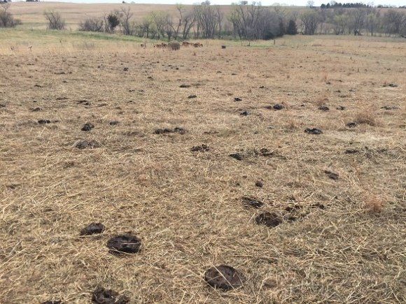 Nice manure distribution and trampling of stockpiled forage.