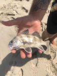 puppy drum, black drum, delaware, sussex county, surf fishing, sand fleas, bona fidebaits, fishbites