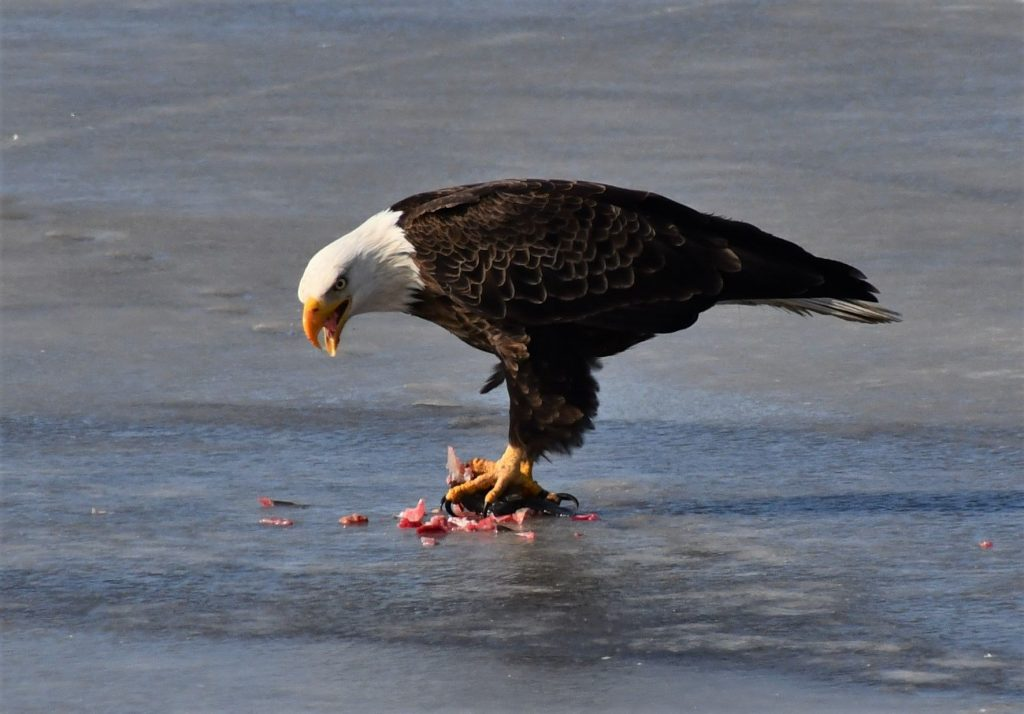 bombay hook national wildlife area, blad eagle, blue heron, ice fishing n delaware, birds of prey, fighting over food, raptor, american bald eagle, delaware, kent county, sussex county, birds of a feather, food competition can be fierce