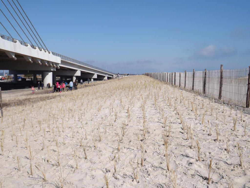 Planted Beach grass