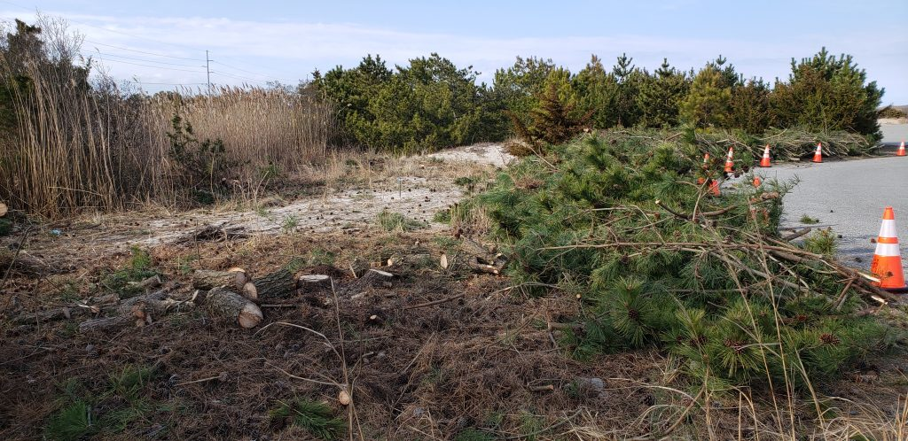 invasive trees, Japanese black pines, delaware seashore state park, cape henlopen state park, route 1, fire watch tower, ghost tower, coastal highway, atlantic ocean