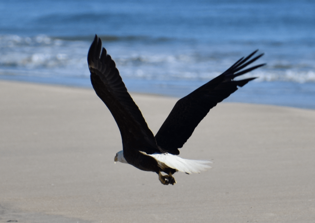 bald eagle, delaware, sussex county, delaware state parks, raptor, birds of prey, american eagle,