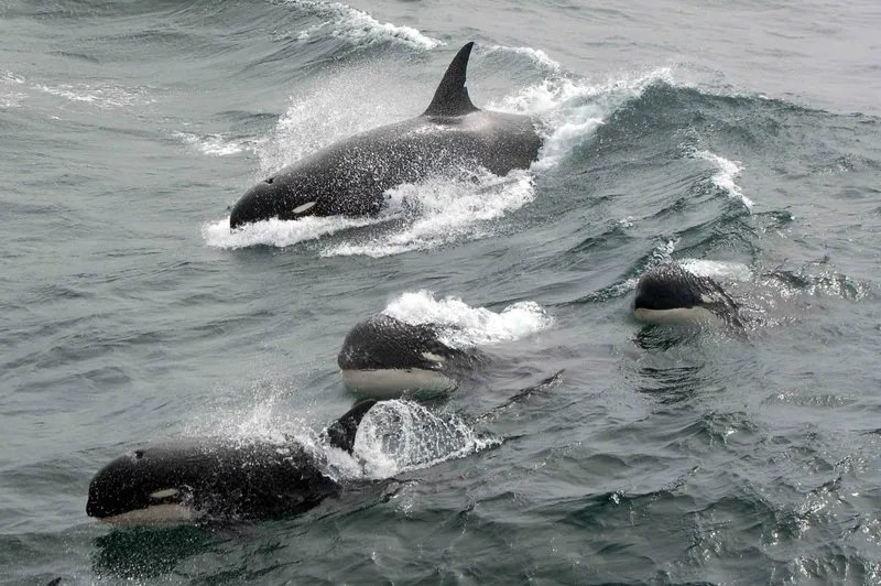 new orcas, killer whales discovered, tyoe D whales