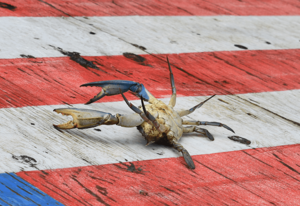 blue claw crabs, crab races, long neck, delaware, sussex county