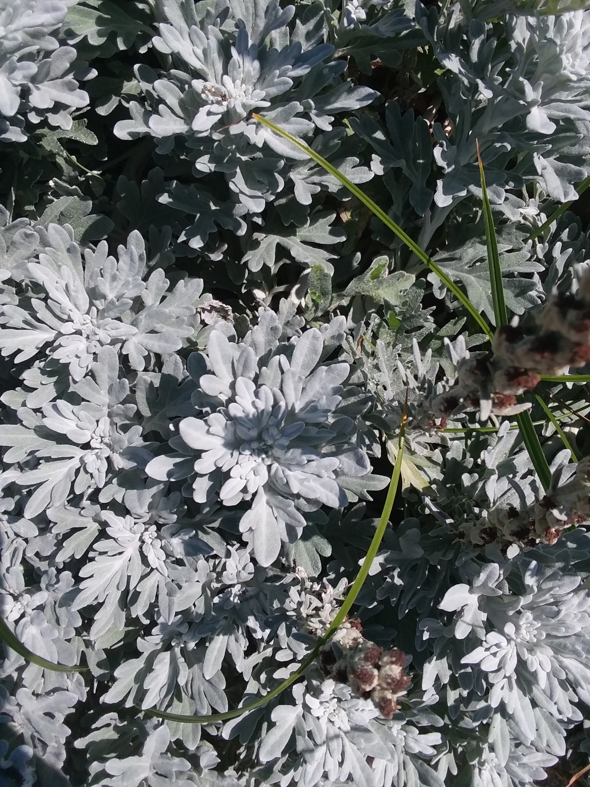 Dusty Miller: Not Just an Awesome Name for a Seventies