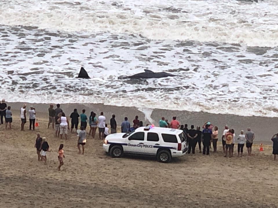whale, ocean city, whale on beach