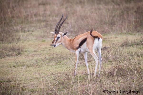 africa tanzania thomsons gazelle eudorcas thomsonii - 1024×683