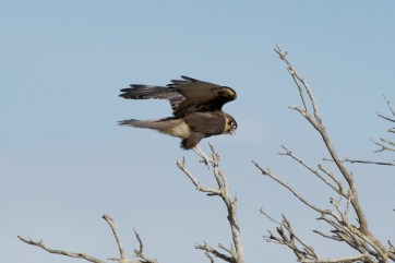 Young Brown Falcon landing on branch