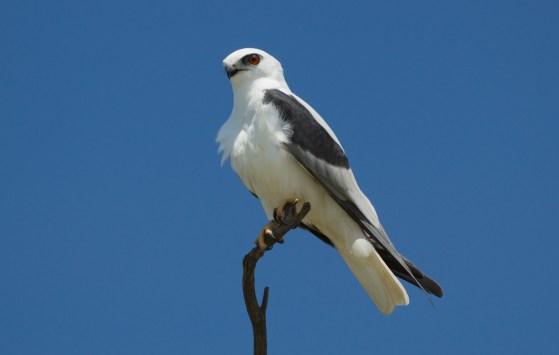 Parent bird