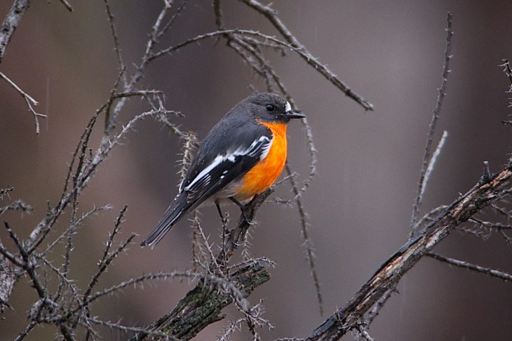 Male Flame Robin, sitting in prickly wattle bush in the rain.