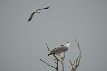 White-bellied Sea Eagle being harassed by gull. It had been putting up with attacks for about 20 minutes or more by this stage