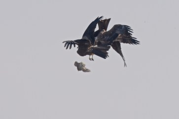 Three birds clash over the prey, resulting it it being dropped and no one has it.