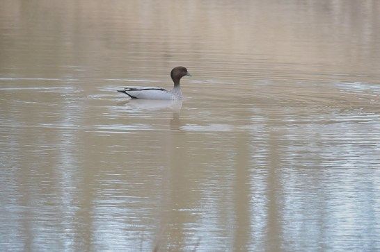 There is a huge dam in the area, and just one Wood Duck to enjoy it.