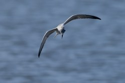 White-winged-Terns-02