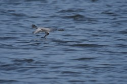 White-winged-Terns-09