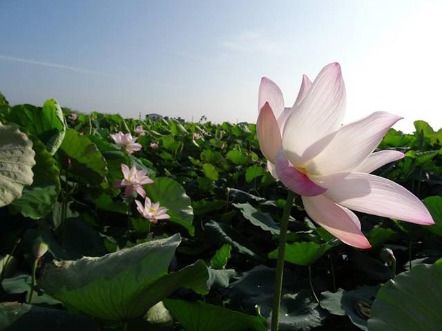 baihe-lotus (8)
