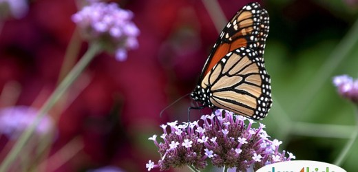 Monarch Butterfly Tagging: What is it?