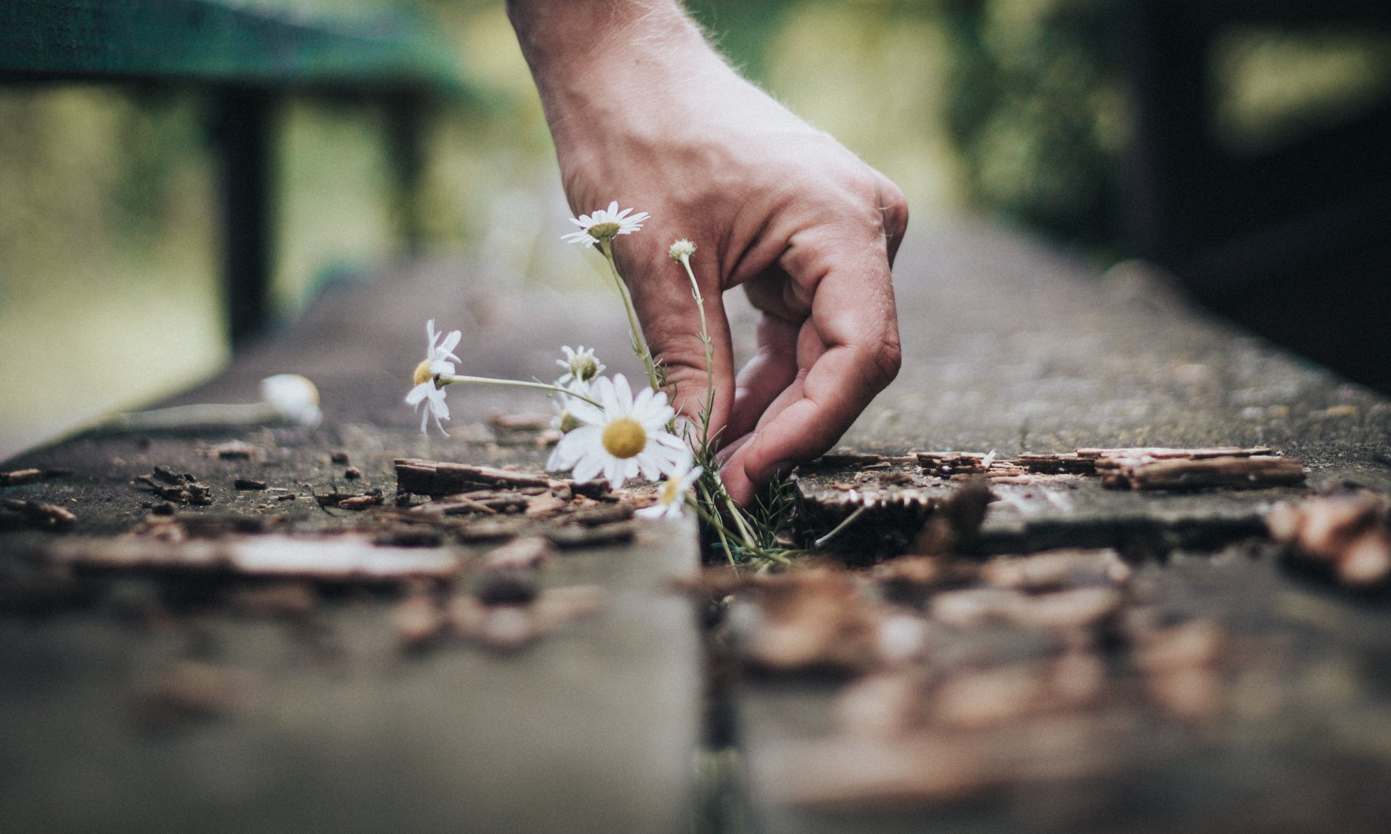 Person holding white daisy flower after earthquake