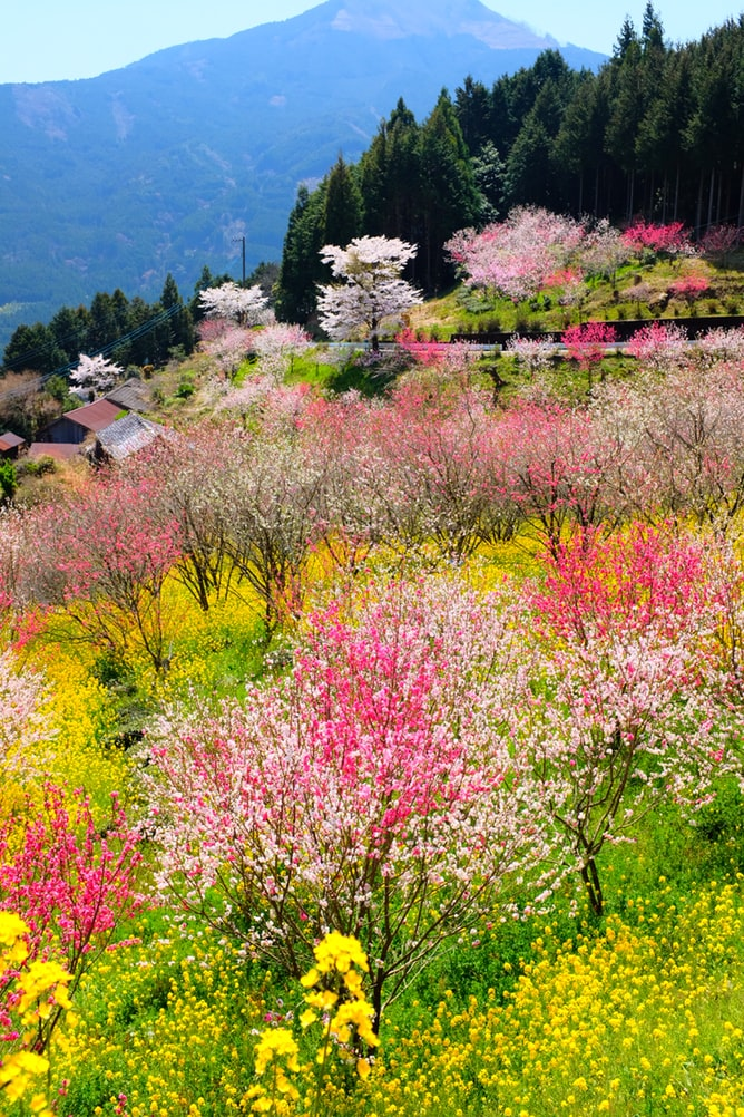 Field of green and yellow flowers next to trees with pink leaves during springtime