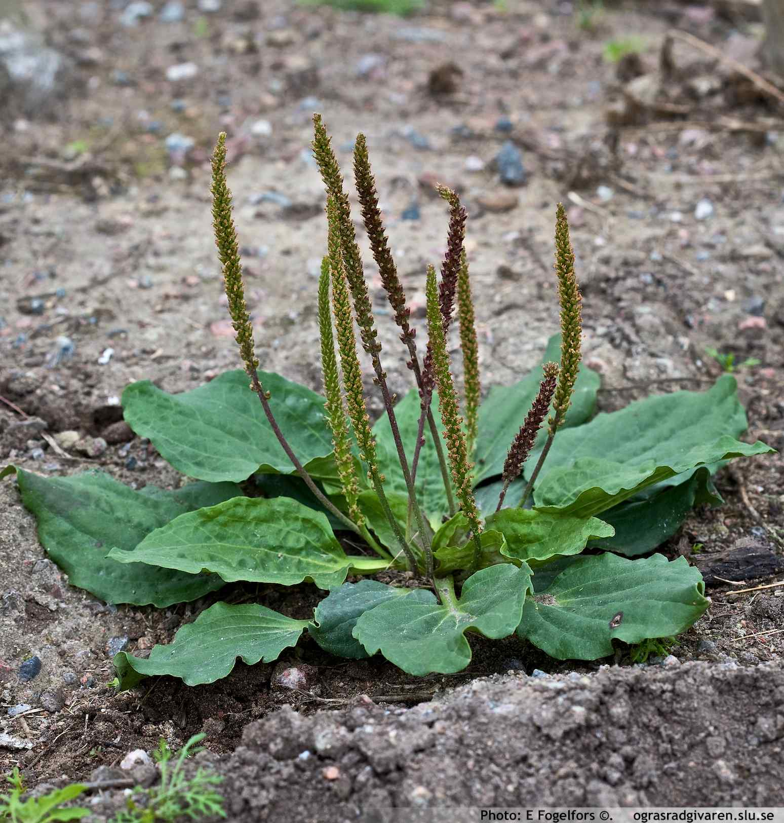 Broadleaf Plantain (Plantago Major)