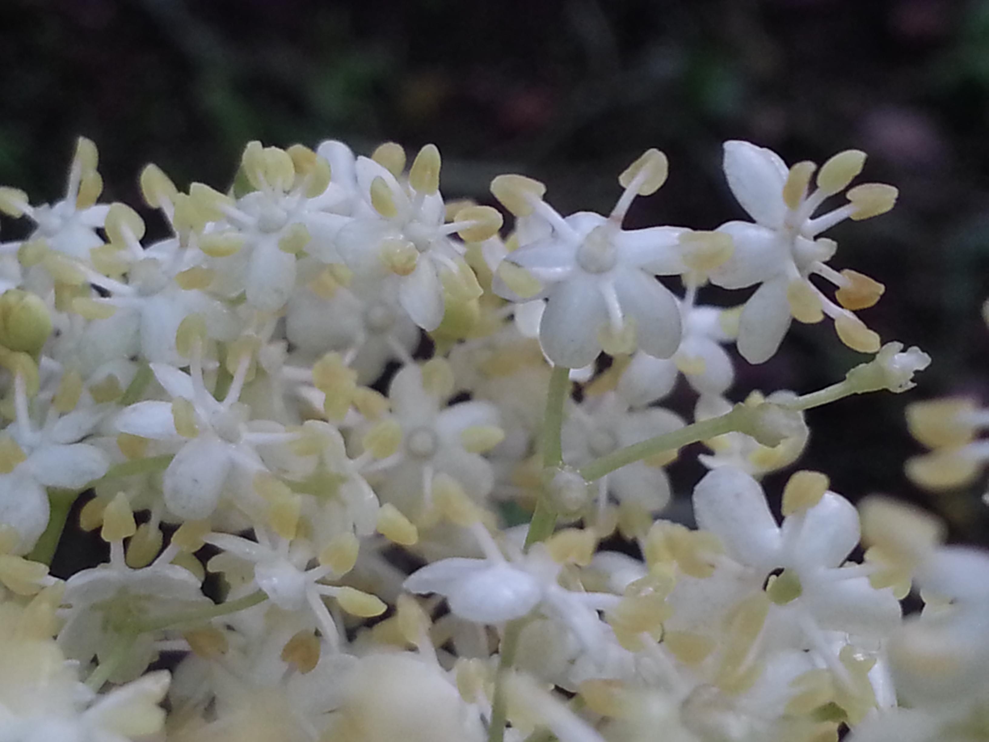 Elderberry (Sambucus Nigra)