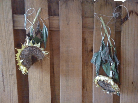 sunflower hung to dry