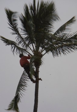 Man trimming palm fronds in anticipation of strong winds.