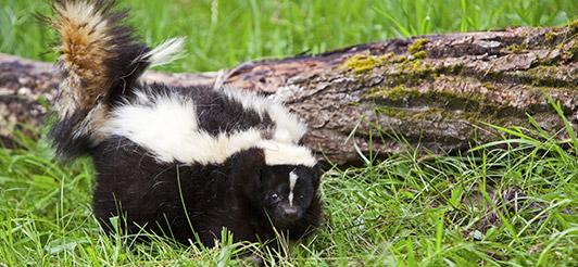 skunks, canton, wildlife removal