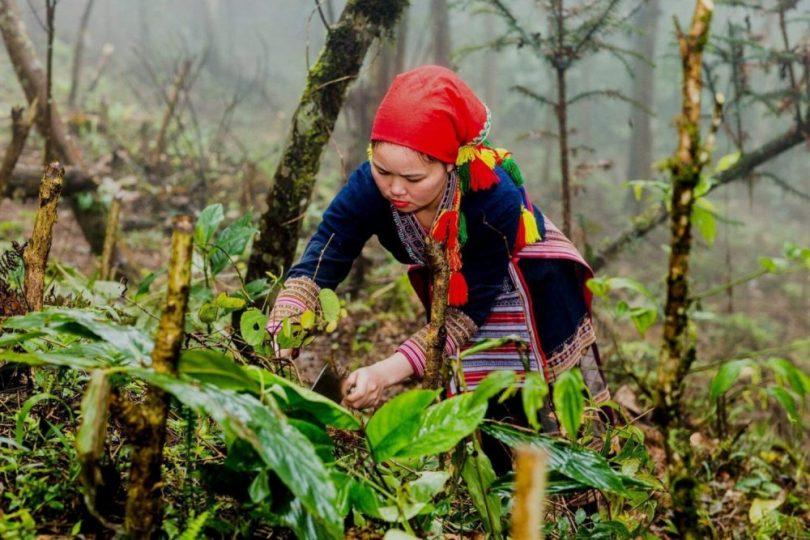 Người Dao đỏ ở Tả Phìn lên rừng hái lá thuốc về