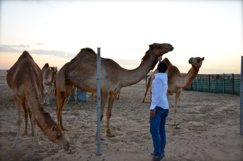 Camels found next to Tilal Liwa Hotel