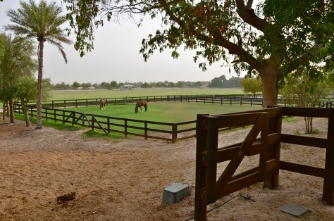 Horses let out in the open fields of Desert Palm Per Aquum