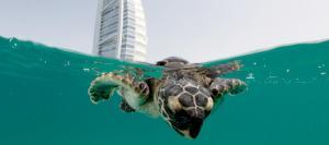 Jumeirah Dubai Teknős Rehabilitációs projekt
