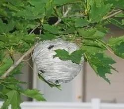 Wasp nest on a shrub