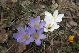 Wiosna przebiła się przez martwe liście i trawę