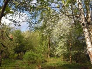 Wiosna szaleje zielenią i kwitnącymi czeresniami
