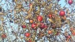 Jabłuszka dojrzewają w jesiennym słonku