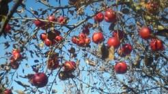 Pielęgnowane drzewa daję większe i zdrowsze owoce