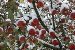 Stare odmiany są odporne na takie śnieżno jesienne niespodzianki
