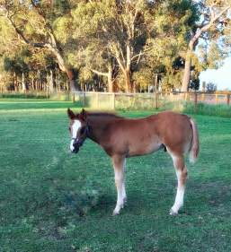 """""""Scooter""""colt. The Lopin Machine x DP Lady in Red. This cute guy is made of Champions. His family tree includes, The Lopin Machine, RL Best of Sudden, VS Code Red, HF Something Hot and Barpasser."""