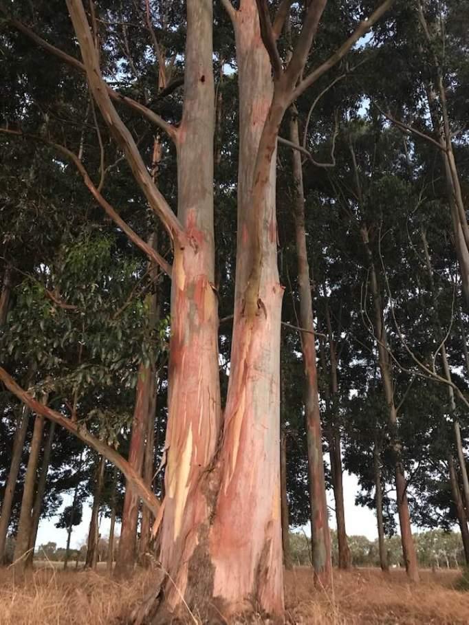 Beautiful tree eucalyptus tree in our plantation