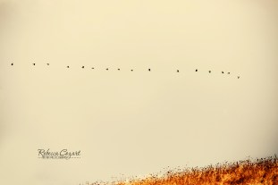 landscape-geese-flying-in-straight-line