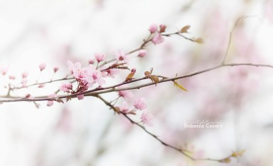 FLOWERS - Cherry Blossoms 2