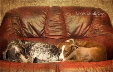 DOGS - Milo and Poppy on Counch