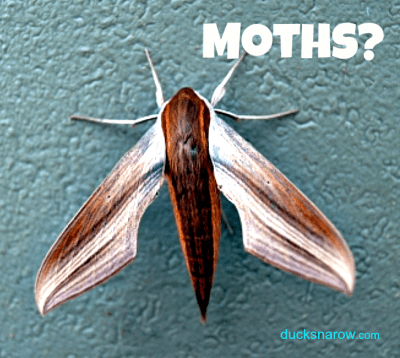 Troubled by moths in your kitchen? #pantrymoths #bugs
