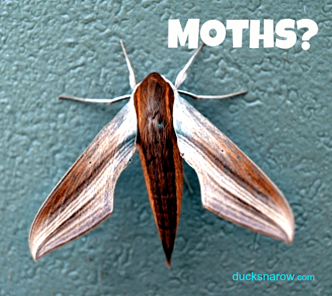Troubled By Moths In Your Kitchen? #pantrymoths #bugs Ducks U0027n A Row