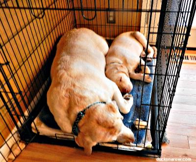Two Yellow Labrador Retrievers #dogs #puppies #yellowlabs Ducks 'n a Row