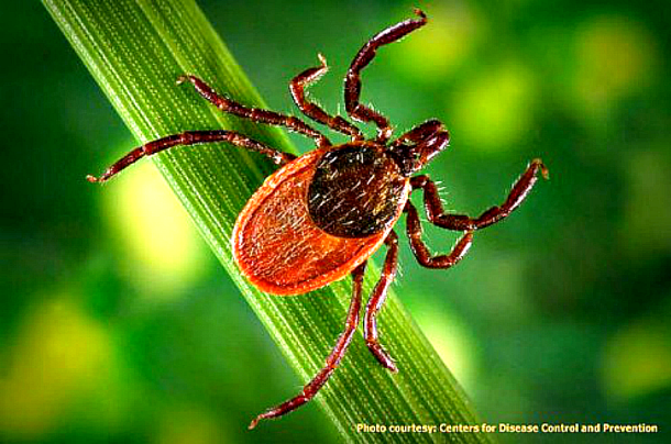 Black legged deer tick #ticks #lymedisease #health #dogs #cats #humans Ducks 'n a Row